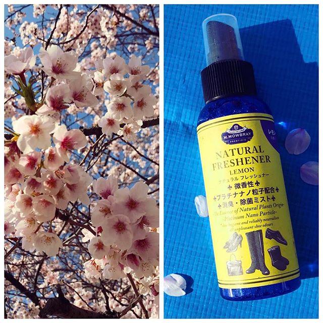 ここ1週間で、ぐんと桜の開花が進みましたね♡お花見+ブルーシートがこわいと思ったら、アトマイザーに詰め変えができるので、さりげなくシュっとできて安心です︎★#お花見 #桜 #ブルーシート #靴 #mowbraymania #靴磨き女子部 #足元くら部 #春 #しじみ